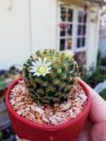 Kaktus med blommor Arkivfoton