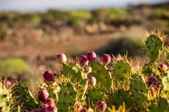 Kaktus med blommor i Tenerife Arkivbild