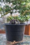 Kaktus med blomningar i plast- kruka Arkivfoto