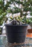 Kaktus med blomningar i plast- kruka Royaltyfri Bild