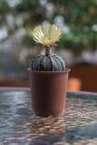 Kaktus med blomningar i plast- kruka Arkivbild