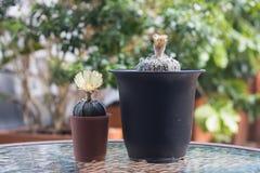 Kaktus med blomningar i plast- kruka Fotografering för Bildbyråer