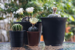 Kaktus med blomningar i plast- kruka Arkivbilder