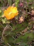 Kaktus med den gula orange blomman Royaltyfria Bilder