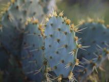Kaktus med fruktbrunt Royaltyfri Fotografi