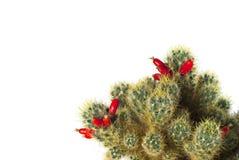 Kaktus med isolerade röda mogna frukter Arkivbild