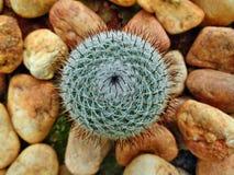 Kaktus med kiselstenstenar Royaltyfri Fotografi