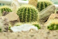 Kaktus med kiselstenstenar Royaltyfria Bilder