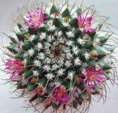 Kaktus med rosa blommor. Royaltyfri Foto