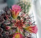 Kaktus med rosa blommor. Fotografering för Bildbyråer