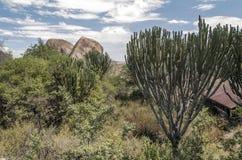 Kaktus med stora stenar Royaltyfria Bilder
