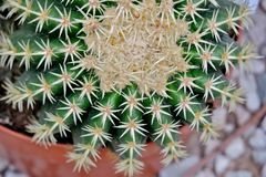 Kaktus med stora visare t?tt upp royaltyfri bild