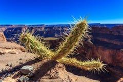 Kaktus med ut ur fokusen Grand Canyon Arkivfoto