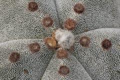 Kaktus med vitt hår Royaltyfria Bilder