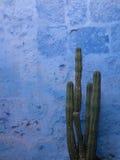 Kaktus mit blauem Hintergrund Stockbilder