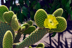 Kaktus mit Blumen Sonniger Tag Stockfotos
