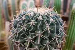 Kaktus mit den großen Dornen Lizenzfreie Stockbilder