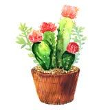 Kaktus mit der rosa Blume, die in der Hülse, tropische Blütenkaktusspezies, blühende grüne Zimmerpflanze saftig ist, Blumen entwe stock abbildung