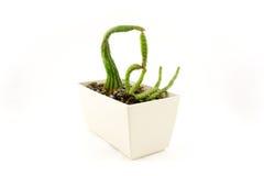 Kaktus mit einer sonderbaren Form Stockfotos