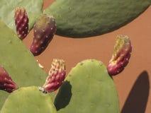 Kaktus mit Früchten Stockfotos