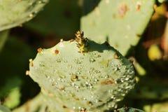 Kaktus mit Fruchtbraun lizenzfreies stockfoto