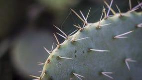 Kaktus mit Fruchtbraun lizenzfreie stockfotografie