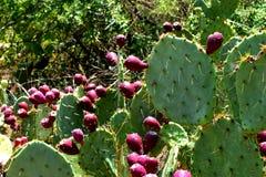 Kaktus mit Fruchtbraun stockbilder