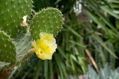 Kaktus mit gelben Blumen stockfotos
