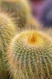 Kaktus mit goldenen langen, dünnen Dornen, Kakteen mit starken gelben Nadeln, Seitenansicht von oben stockfotos