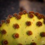 Kaktus mit Gruppen Dornen lizenzfreies stockbild