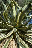 Kaktus mit langen Blättern lizenzfreies stockbild