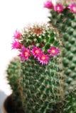 Kaktus mit roten Blumen Stockfotografie