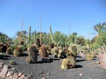 Kaktus może żyć drzewa Wyrównujących w suchej suchej pustyni umierać bez woli padał dużo Kaktus przechować wodę w lar Obraz Royalty Free
