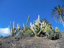 Kaktus może żyć drzewa Wyrównujących w suchej suchej pustyni umierać bez woli padał dużo Kaktus przechować wodę w lar Zdjęcia Stock
