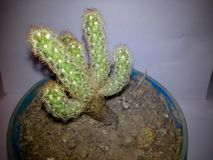 Kaktus na białym tle, Odizolowywa kaktusa w garnku obrazy royalty free
