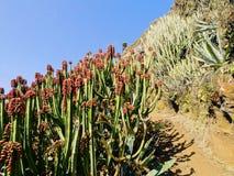 Kaktus na losie angeles Palma Zdjęcia Royalty Free