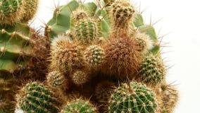 Kaktus na odosobnionym bia?ym tle 4k zbiory wideo