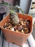 Kaktus na okno Obrazy Stock