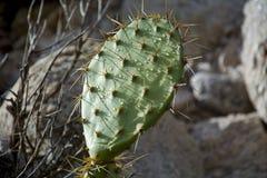 Kaktus nach Wüstenregen Lizenzfreies Stockfoto