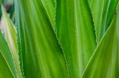 Kaktus namngav Agaveceae Arkivbilder