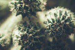Kaktus naturligt tonat makrofoto Fotografering för Bildbyråer