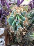 Kaktus natury zielony kręgosłup w ogródzie obrazy stock