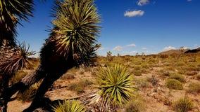 Kaktus- och joshua träd i Arizona i 4k stock video