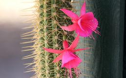 Kaktus och rosa färgblomma Arkivfoto