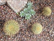 Kaktus och suckulenter i den Kalifornien trädgården Royaltyfri Bild