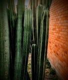 Kaktus och vägg fotografering för bildbyråer