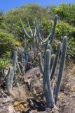 Kaktus och växter för endemisk karibisk Royaltyfri Foto