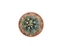 Kaktus od odgórnego widoku na białym tle Obrazy Stock