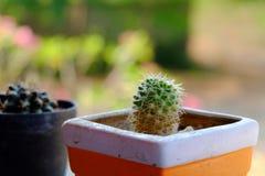 kaktus odizolowane zioło Fotografia Stock