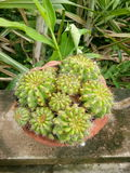 kaktus odizolowane zioło Zdjęcia Royalty Free